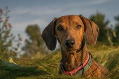 dachshund Стоковые Фото