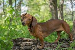 dachshund Стоковые Изображения RF