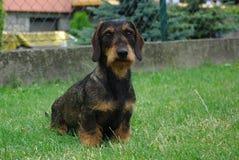 dachshund Fotos de Stock Royalty Free