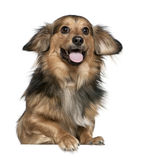 Dachshund, 6 years old Royalty Free Stock Image