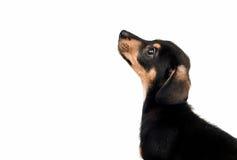 dachshund Stockfotografie