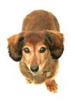 Dachshund. Dog, isolated on white background Royalty Free Stock Photography