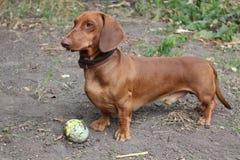 dachshund Στοκ Εικόνα