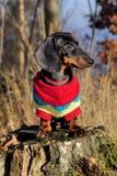 dachshund Стоковое Фото