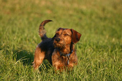 Dachshund. Portrait of a cute dachshund stock image