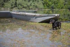 dachshund Στοκ φωτογραφία με δικαίωμα ελεύθερης χρήσης