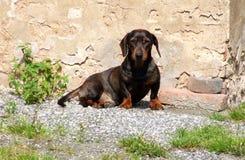 dachshund Images libres de droits