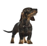 Dachshund, 8 months old, standing Royalty Free Stock Photo