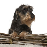 Dachshund, 8 years old, in front of white Stock Images