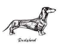 dachshund Stock Afbeelding