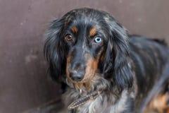 dachshund Royalty-vrije Stock Fotografie