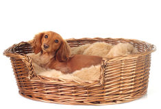 Dachshund. Cute Dachshund in her basket Royalty Free Stock Photos