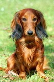 Dachshund Stock Images