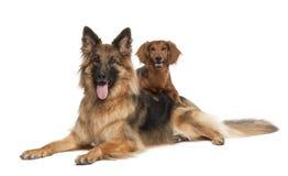 Dachshund, 9 anni, cane di pastore tedesco Immagine Stock