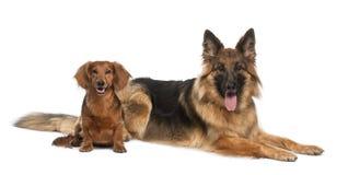 Dachshund, 9 anos velho, cão de pastor alemão Fotos de Stock Royalty Free