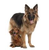 Dachshund, 9 anos velho, cão de pastor alemão Imagens de Stock Royalty Free