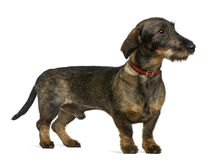 Dachshund, 9 months old Royalty Free Stock Image