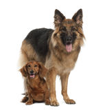 Dachshund, 9 years old, German Shepherd Dog. 3 years old, sitting against white background Royalty Free Stock Images