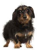 Dachshund, 9 years old, standing Stock Images