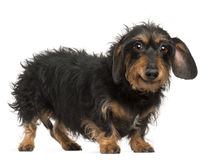 Dachshund, 9 years old, standing Royalty Free Stock Image