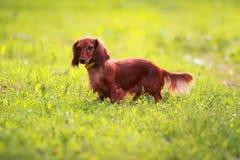 dachshund Στοκ Φωτογραφία
