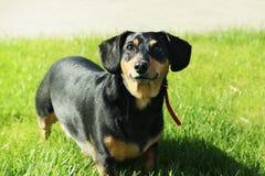 dachshund stock foto