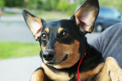 dachshund royalty-vrije stock afbeelding