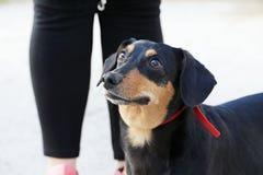 dachshund stock afbeeldingen