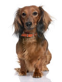 Dachshund. In front of a white background Stock Image