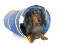 Dachshund  in agility Stock Photography