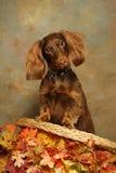 Dachshund auf Stuhlrückseite mit Herbst-Blättern Lizenzfreie Stockfotografie