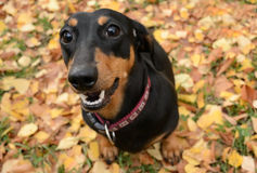 Dachshund autumn Royalty Free Stock Photos