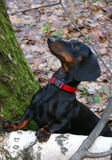 Dachshund in autumn forest Stock Photography