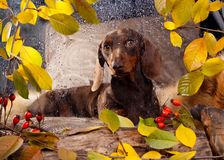 Dachshund and autumn rainy day Stock Images