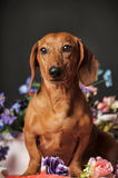 Dachshund on a background of flowers Royalty Free Stock Photography