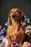 Dachshund on a background of flowers Stock Photography