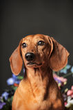 Dachshund on a background of flowers Royalty Free Stock Photos