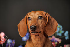 Dachshund on a background of flowers Royalty Free Stock Photo