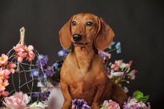 Dachshund on a background of flowers Royalty Free Stock Image
