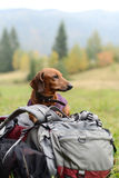 Dachshund on a backpack Royalty Free Stock Images