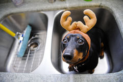 Dachshund Bath Time. Dachshund dog in reindeer disguise awaiting bath time Royalty Free Stock Images