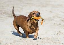 Dachshund on beach Stock Image