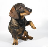 Dachshund begging Royalty Free Stock Image