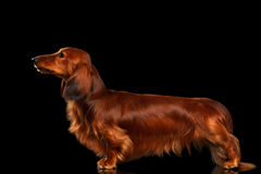 Dachshund on Black background Stock Image