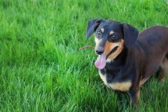 Dachshund. Black dachshund on green grass royalty free stock photo