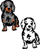 Dachshund. Black and tan dackel or dachshund Stock Images