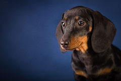 Dachshund blue background royalty free stock photo