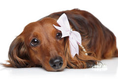 Dachshund with bow on a white background Royalty Free Stock Photography
