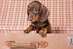 Dachshund in box. Little Dachshund puppy in box Royalty Free Stock Photography