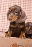 Dachshund in box. Little Dachshund puppy in box stock photo